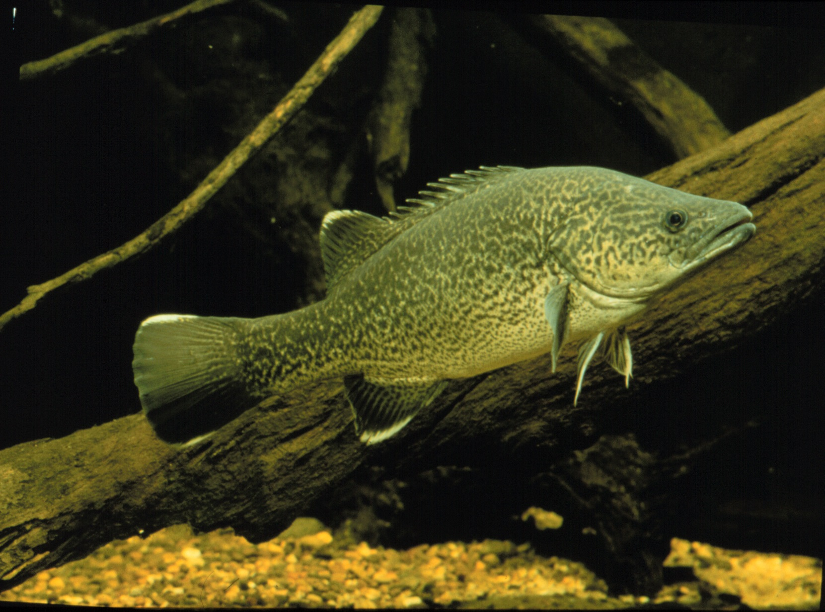 Queensland Freshwater cod closed season | 1015FM